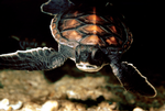 Young Green Turtle