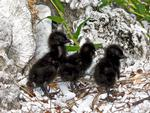 Buff-banded Rail chicks, Lady Elliot Island