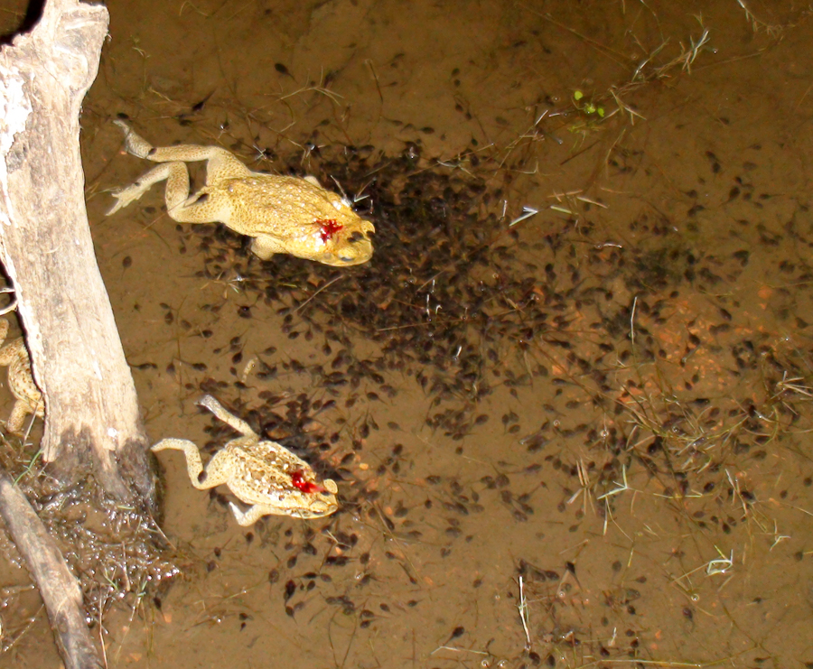 Image of tadpoles feeding on dead toad